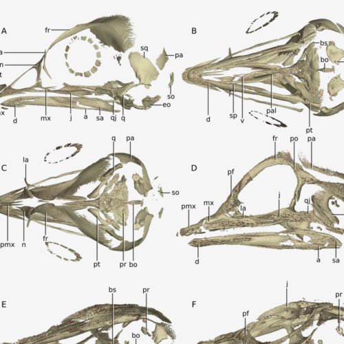 Conserved in-ovo cranial ossification sequences of extant saurians